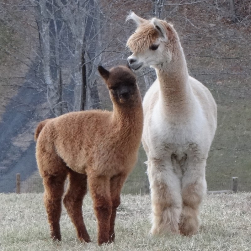 Landmark Farm Alpacas logo